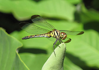 Photo: Dragonfly perching.