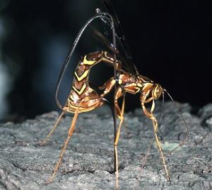 Ichneumonid Wasp.