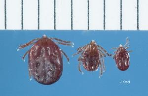 Haemaphysalis tick